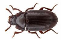 Удивительные лечебные свойства жука знахаря